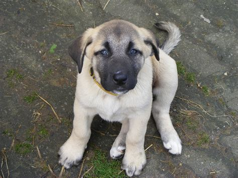 kangal puppy new kangal puppy coming to ccf from germany cheetah conservation fund cheetah