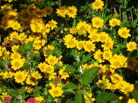 stauden gelb winterhart 10 gelb bl 252 hende stauden f 252 r den sonnigen steingarten