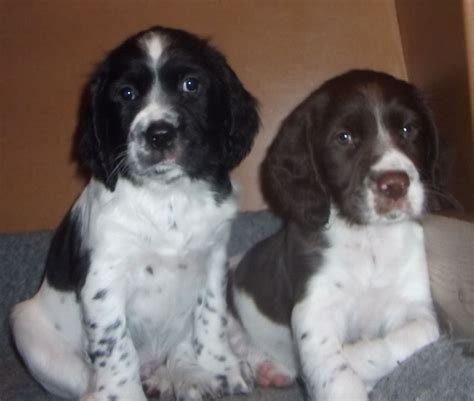 springer spaniel puppies for sale springer spaniel puppies for sale ruthin denbighshire pets4homes