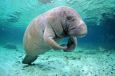 manatee animals images