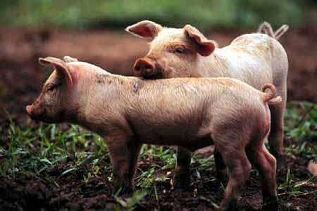 imagenes de animales transgenicos escrito por todocerdos 24 06 2008 en general comentarios
