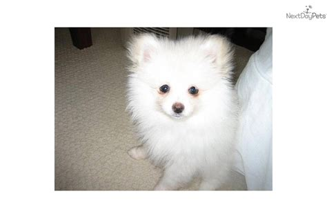 pomeranian breeders oregon puppies for sale from skylinepoms of oregon nextdaypets