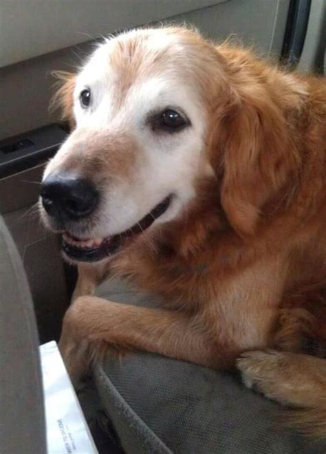 lost golden retriever baristanet your local homegrown community since 2004 covering montclair