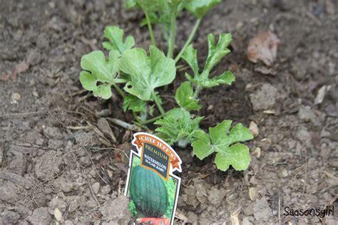 Watermelon Planter by Transformation Seasonsgirl