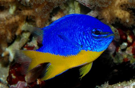 Ikan Hias Laut Letter Six Dori Tiny b y marine fish shop chrysiptera hemicyanea bicolor