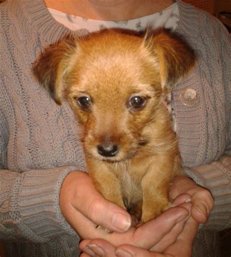 Small Dogs Home Walsall Terrier Cross Puppy Walsall West Midlands