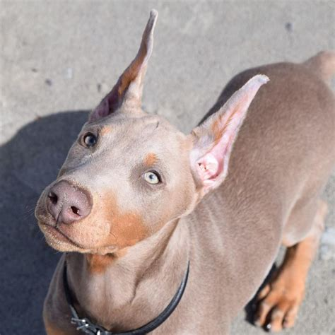his name was my with a remarkable doberman pinscher books the 25 best doberman ideas on doberman