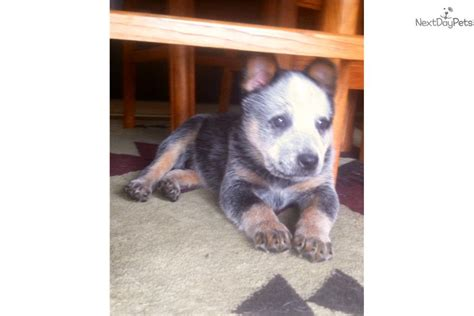 tulsa australian cattle dog blue heeler puppy for sale