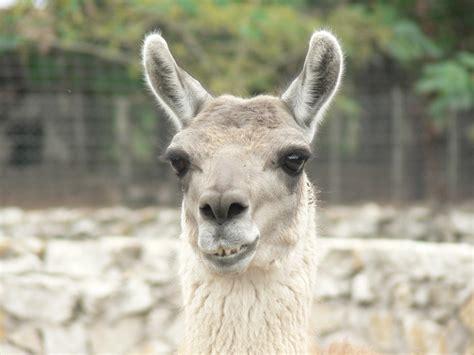 imagenes animal llama pinterest the world s catalog of ideas
