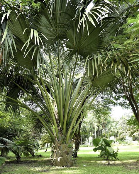 fan palm tree care