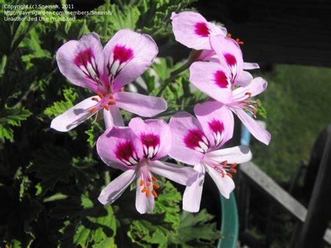 plantfiles pictures citrosa geranium mosquito plant deodorizer plant citronella plant