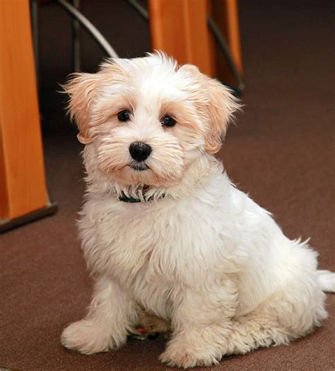 havanese mix 17 best images about dogs on mixed breed puppies poodles and portuguese