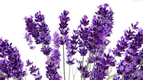 wallpaper flower lavender lavender flowers purple hd wallpapers