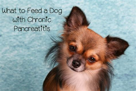 what do you feed a puppy what do you feed a with chronic pancreatitis dogvills