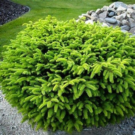 best 25 evergreen shrubs ideas on pinterest shrubs dwarf evergreen shrubs and landscaping shrubs