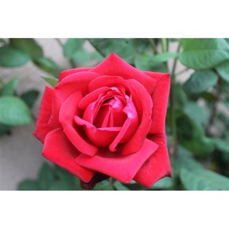 Buy Roses by Seeds Buy Seeds Roses From