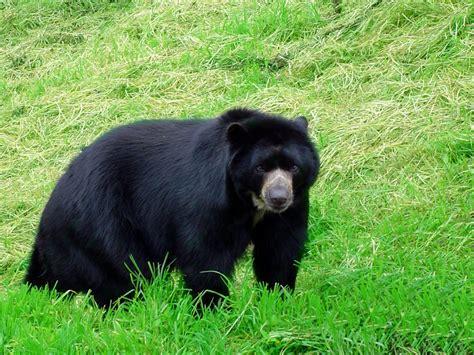 imagenes de osos wallpaper en fotos el oso frontino una especie 250 nica en su g 233 nero