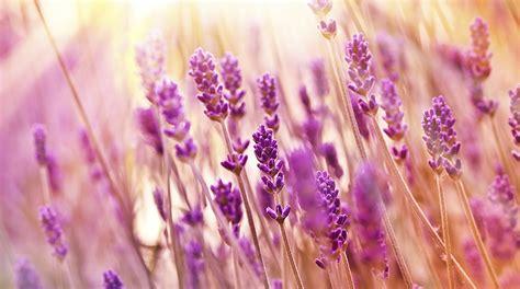 fiori di lavanda ricetta acquavite alla lavanda selvatica abbardente de