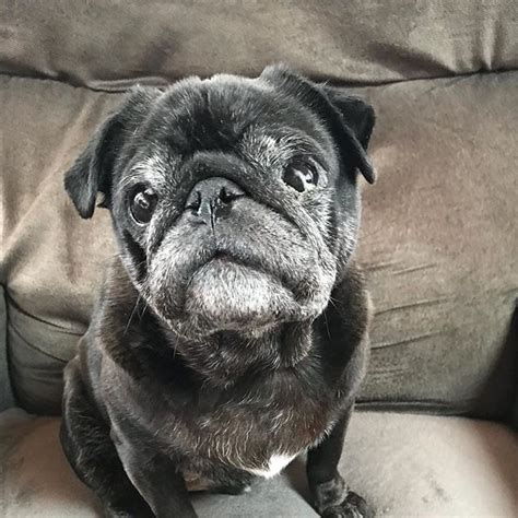eye drops for pugs best 25 black pug ideas on black pug puppies pug puppies and pug