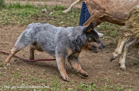 australian herding australian cattle dogs herding www imgkid the image kid has it
