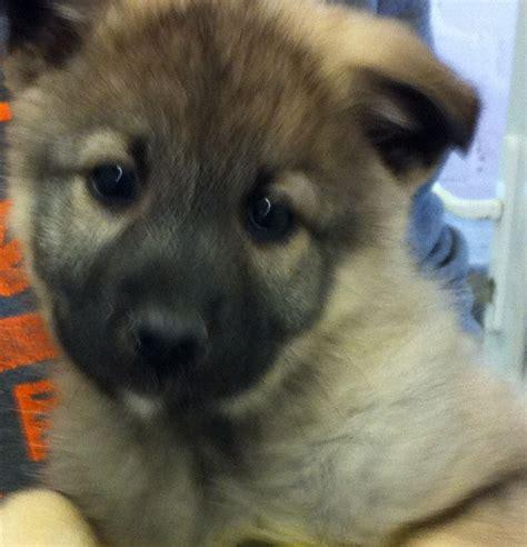 elkhound puppies for sale elkhound puppies for sale burnley lancashire pets4homes