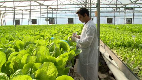 hydroponic lettuce greenhouse factory automated youtube