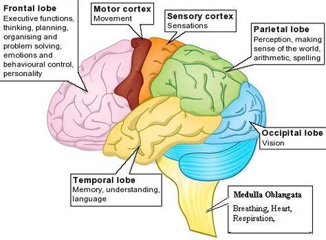 google images brain brain parts functions labeled printable google search