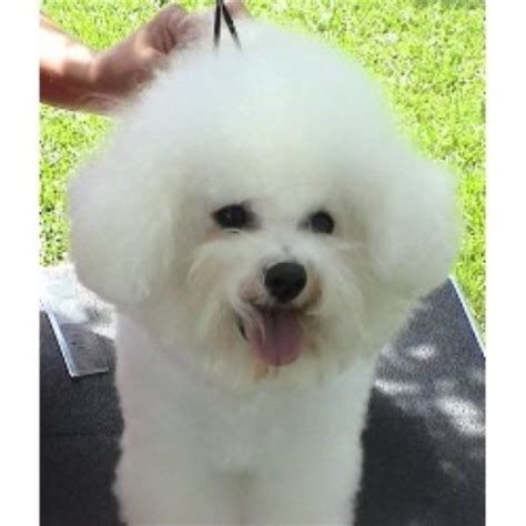 bichon frise puppies florida cambea s puppies bichon frise breeder in clearwater florida listing id 16012