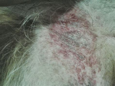 bacterial infection in dogs bacterial infections caused by bites