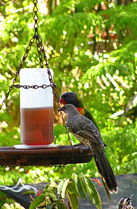 birds in australian backyards australian birds backyard birds