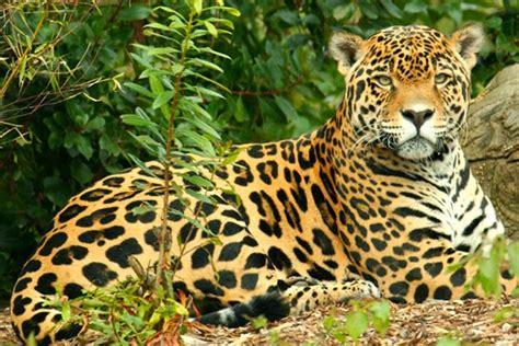 imagenes del jaguar panthera onca info animales jaguar panthera onca