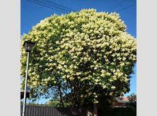 Buy Chinese Glossy Privet (Ligustrum Lucidum) 15+ seeds ... Glossy Privet Tree