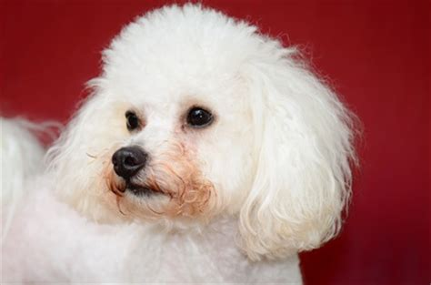 bichon frise poodle lifespan characteristics of a bichon frise poodle mix dogs in our
