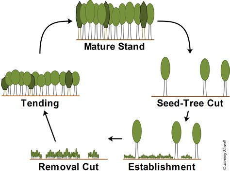 how to cut a tree diagram seed tree diagram forestry
