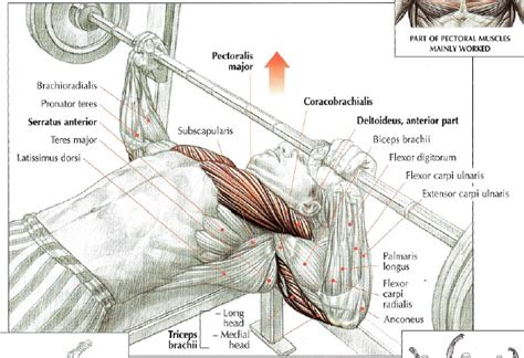 muscles used in bench press muscles used when bench pressing 28 images dumbbell flat bench press chest