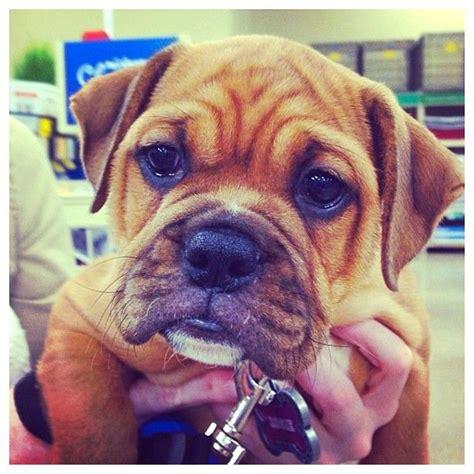 bulldog mix pug pug bulldog mix can i you