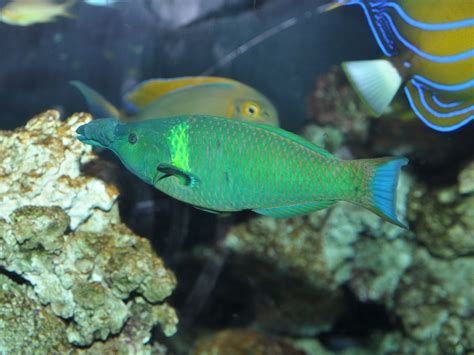 green bird wrasse flickr photo sharing the online zoo bird wrasse