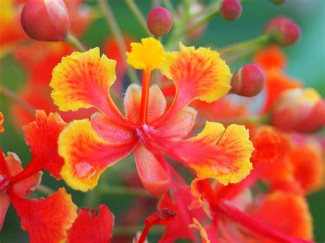 Bunga Merak by Pokok Bunga Burung Merak Wikiwand