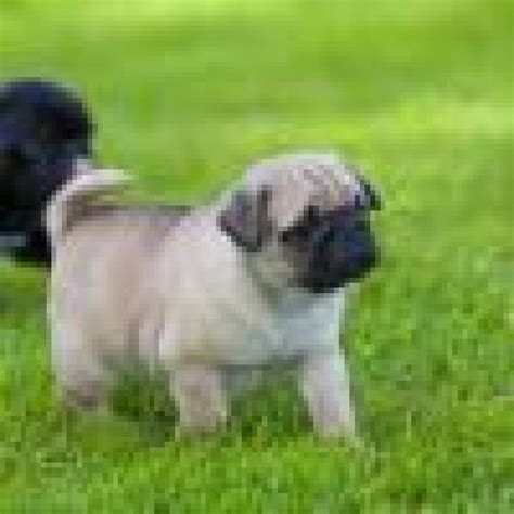 pugs for sale montana beautiful mini pug puppies for sale offer malta 50