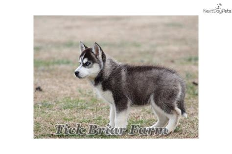 siberian husky puppies for sale in sc silver siberian husky puppy for sale near greenville upstate south carolina