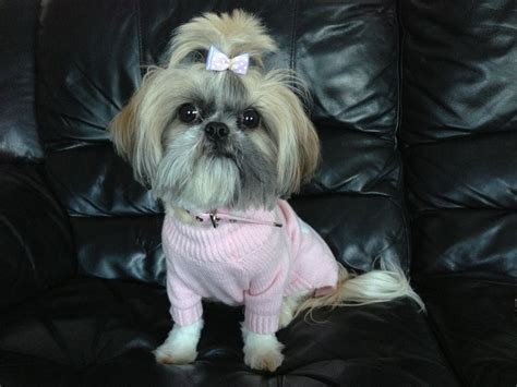 shih tzu adults small type shih tzu for sale gillingham kent pets4homes