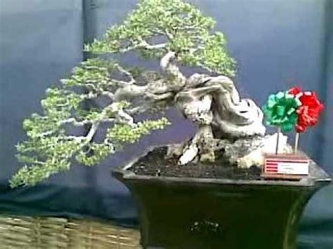 Jual Bakalan Bonsai Jawa Timur bonsai santigi bakalan bonsai santigi jawa timur surabaya