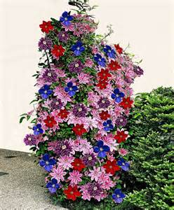 Colourful Climbing Plant - clematis mixed clematis nelly moser multi blue jackmanii ville de lyon an