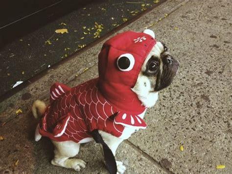 pug fish 58 best pug costumes hahaha images on