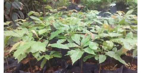 Batu Pandan Madu cita tani nursery ns015495 d benih pokok matoa