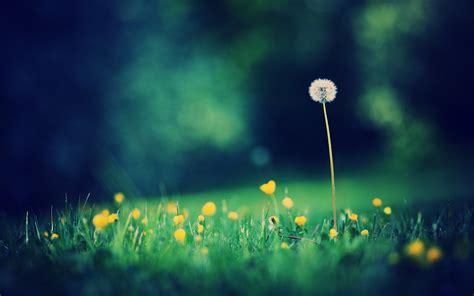 wallpaper bunga dendelion when i m here senyum semangat kawan laman 2