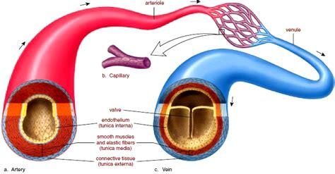 diagram of the blood vessels blood vessels anatomy of blood vessels