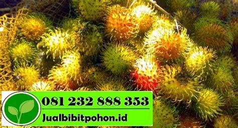 Bibit Pohon Rambutan bibit buah rambutan narmada siap tanam jual bibit pohon