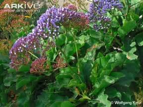 sea lavender videos photos and facts limonium perezii