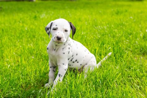 how much are dalmatian puppies things to consider if you your set on a dalmatian puppy pets4homes
